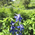 Jackson-Hole-Wildflowers-5