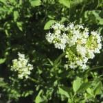 Jackson-Hole-Wildflowers-6