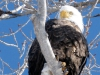 Bald-Eagle-On-The-Snake-River