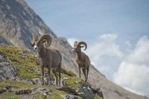 dubois big horn sheep
